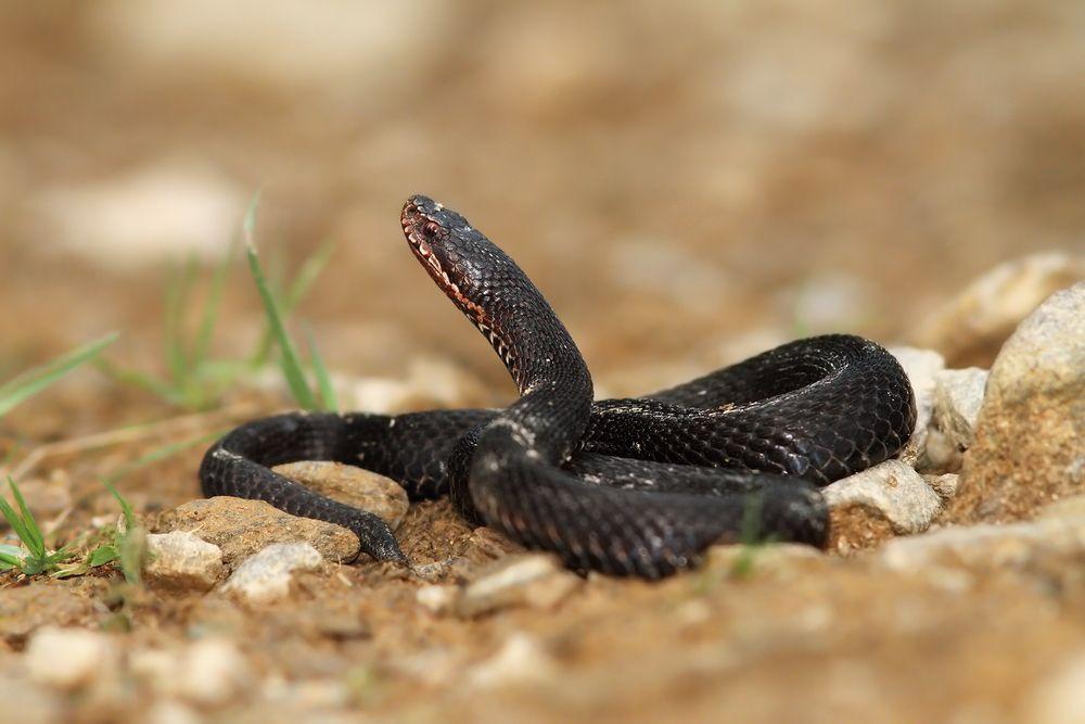 European cat snake in Iran deserts