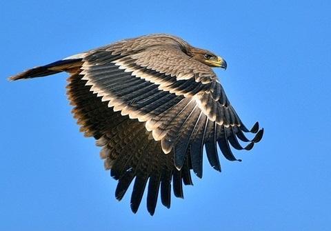 golden eagle flying over Iran deserts