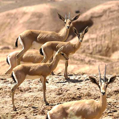 Kavir national park and hyenas