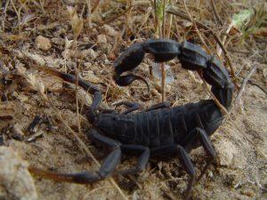 fattail scorpion in Iran deserts