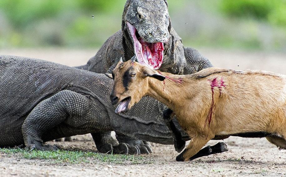 monitor lizards hunting a goat- Iran desert animals