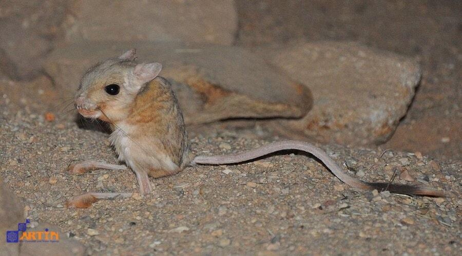 jerboa in lut desert- Iran desert animals- travelartin.com