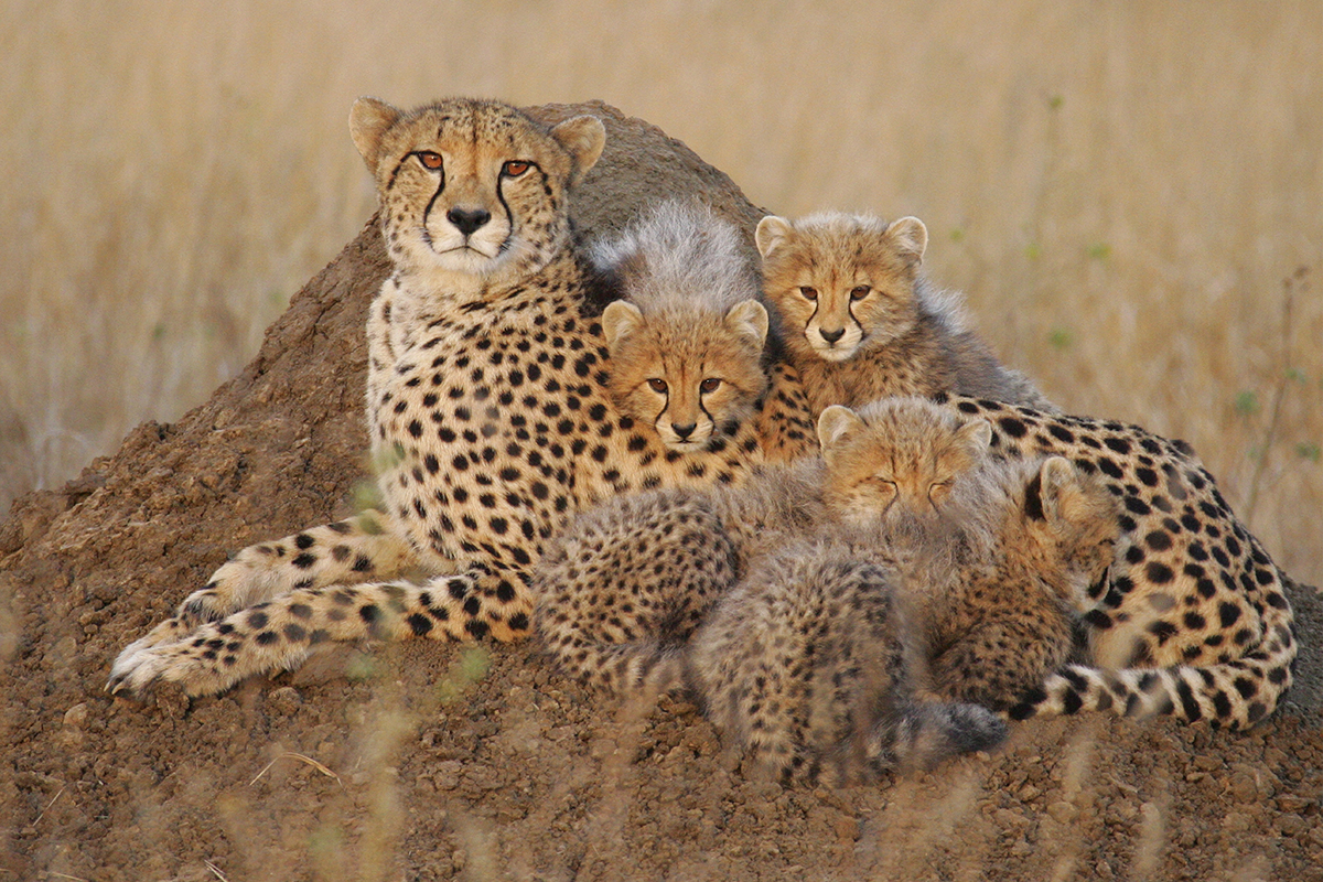 Asiati cheeta and its four cubs in Golestan national park