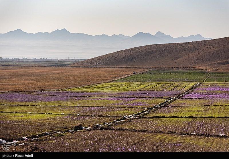 saffron fields in Khorasan- Iran- Photography tour in iran