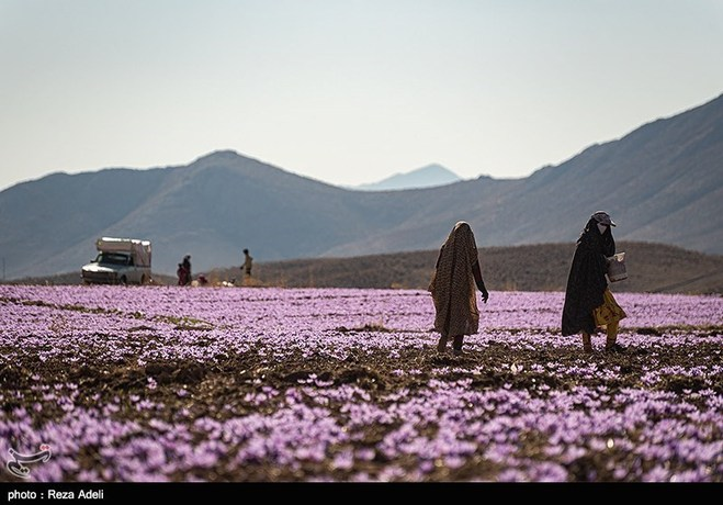 Saffron harvesting in november-khorasan province- 7 days photography tours