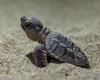 Qeshm island sea life hawksbill turtle travelartin.com